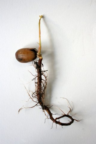 Beuys' Acorns, Ackroyd & Harvey, 2007- onwards