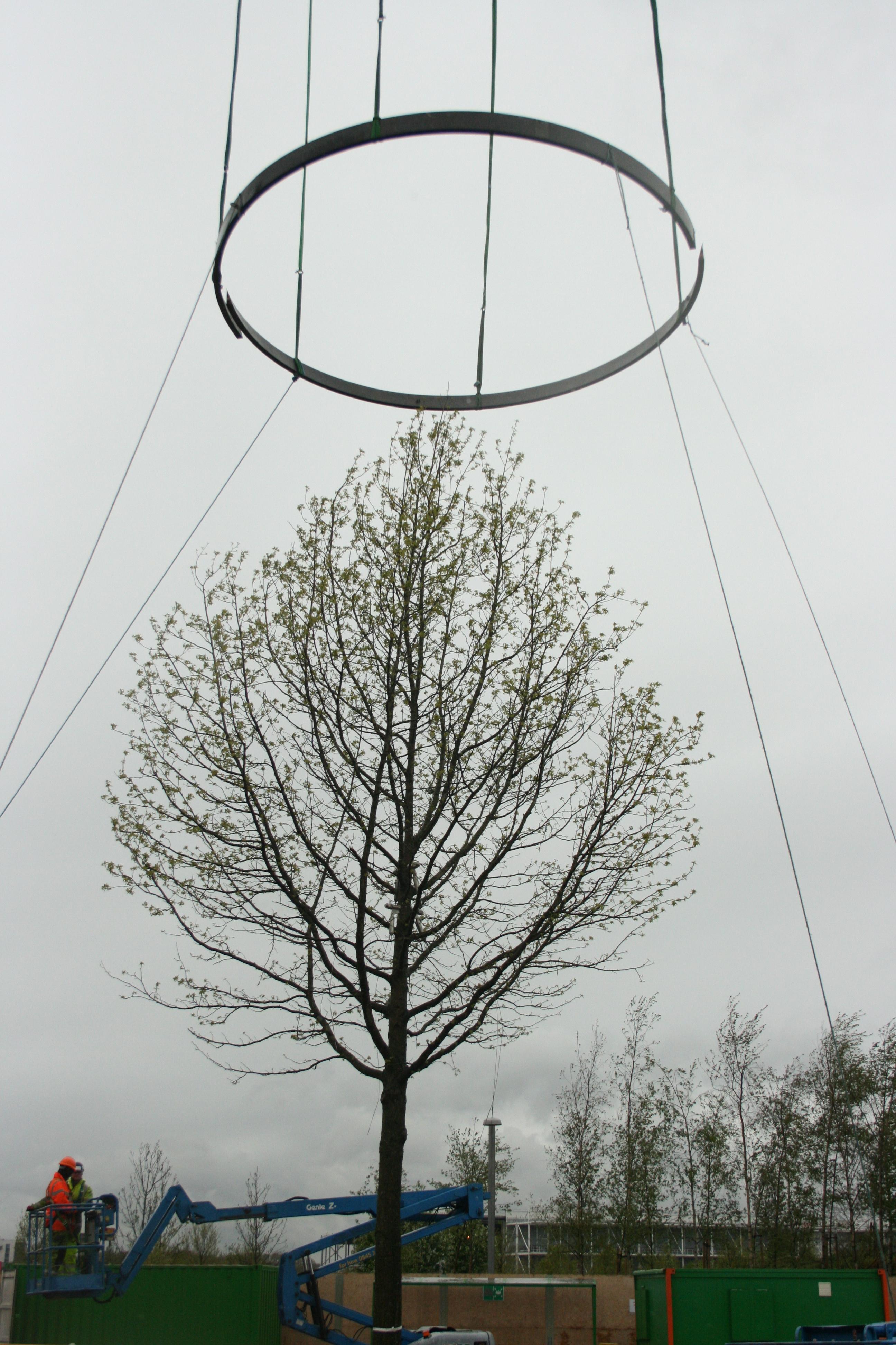 The Last Ring – Installation on the Liquidamber tree- History Trees ...
