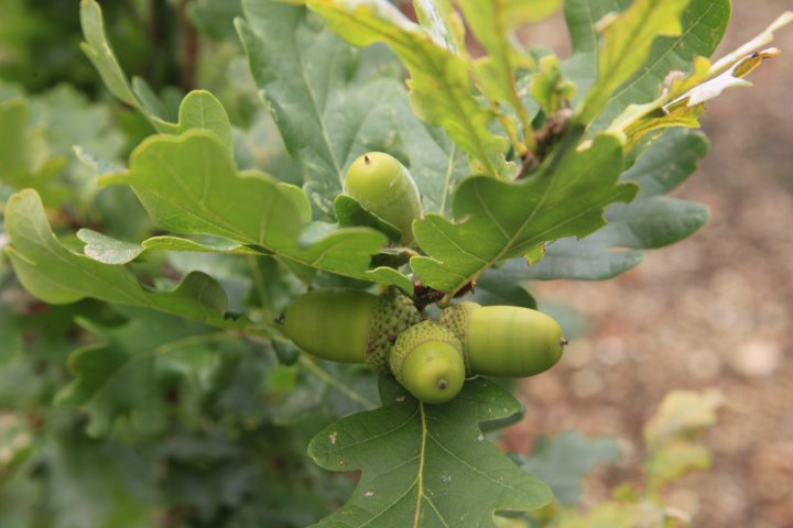 Acorns on Oak